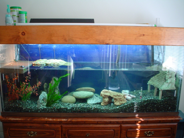 100 gallon turtle tank   a baby turtle is onthe far left