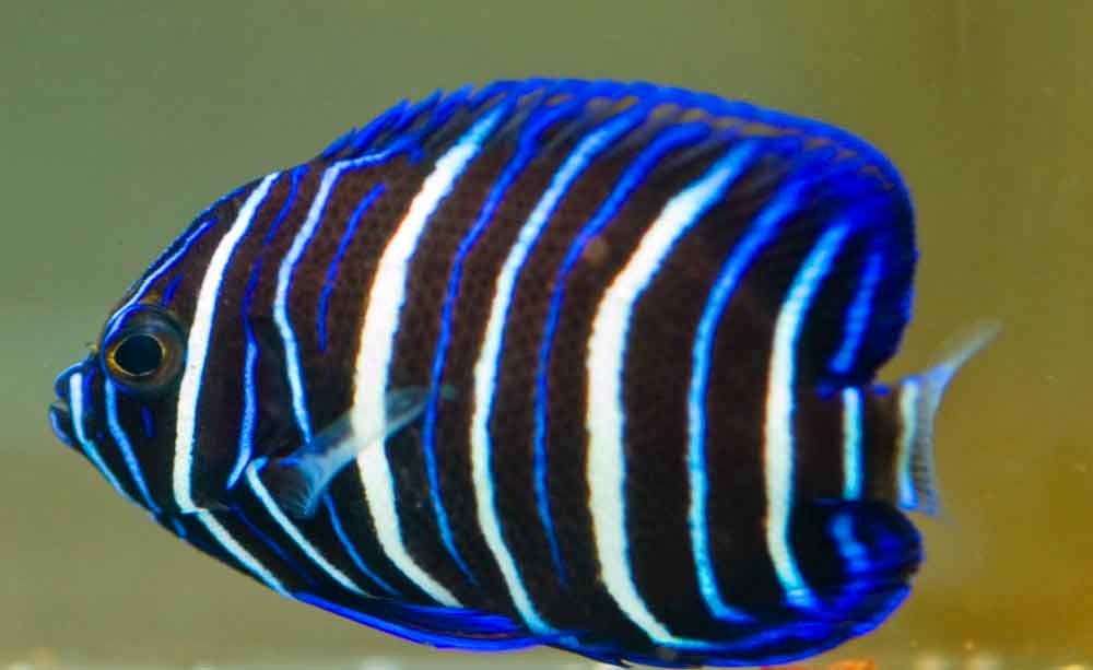 Bengal Cat Hd Wallpaper Blueface Angelfish Photo And Wallpaper Cute Blueface