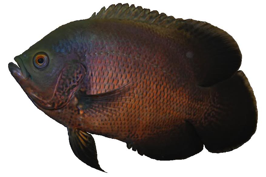 Oscar Fish Care - Facts And Information