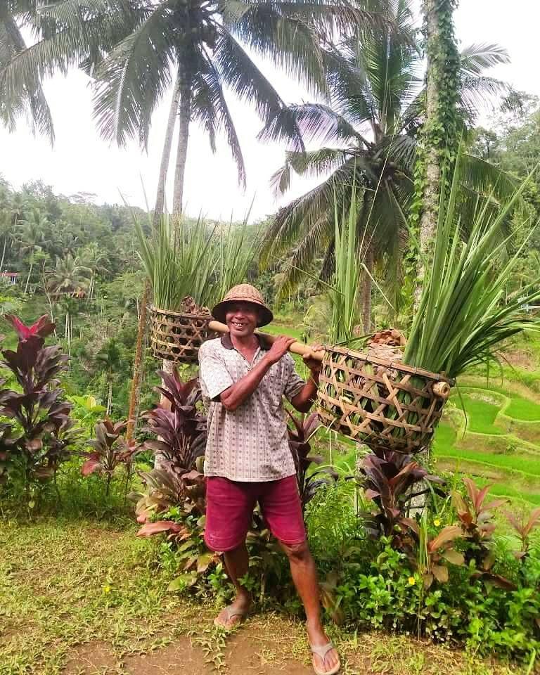 Ubud Bali Reisfelder Reisarbeiter