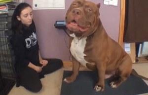 World's Biggest Pitbull