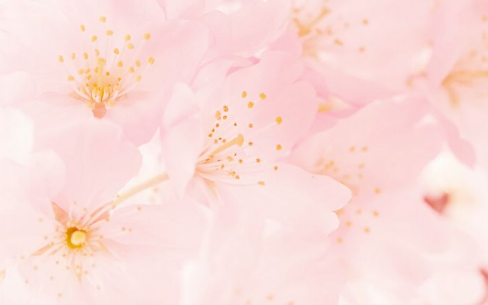 Peonies Wallpaper Iphone 6 Flowery Spring Dreamy Cherry Blossoms Macro Wallpaper 25