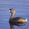 Pied-billed Grebe - Photo Credit: Marie Read