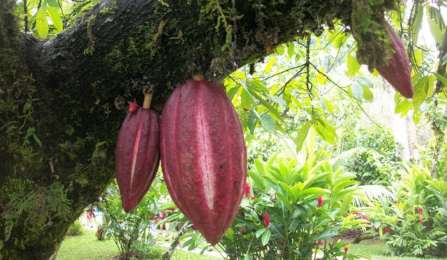 Cacao pod photo via Flickr, courtesy of Scott and Emily at WeGoSlow.com
