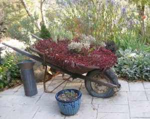 Sedum filled wheelbarrow in fall