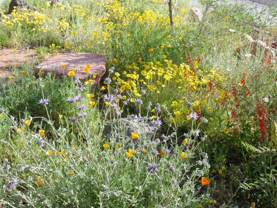 Desert Dandelions and purple desert asters