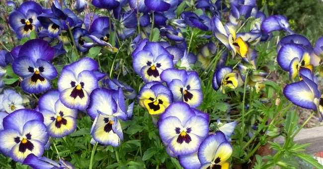 Blueberry thrill violas-featured