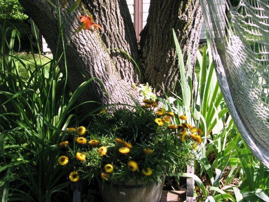 Catherine Lepage  Almost hidden, succulents grow in the tree