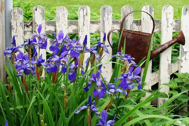 Arlene Brenneman's Spring fresh iris contrasts with a thoroughly rusty watering can...