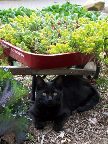 """Arlene Brenneman says, """"Look who's hiding under the wheelbarrow planted with sedums. Had a hard time getting him to look up for the photo - he was busy watching bugs crawl around."""""""