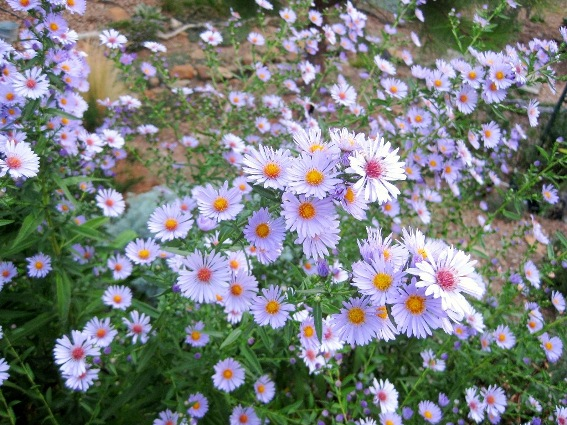 Aster dumosus 'Prof. Kippenberg' attracts honey bees as well!