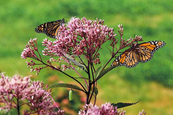 Joe-Pye Weed for a butterfly garden