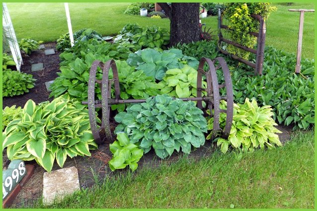 Nancy's hosta grow up in Spring, nestled in with old farm implements