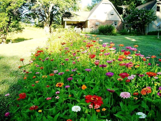Kay Comer's six by fifty foot zinnia bed