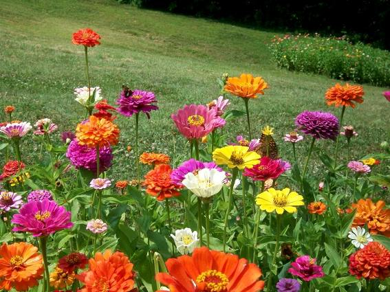 Zinnas look great in patches or large garden bed
