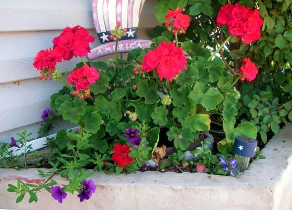 Becky Norris's red geraniums