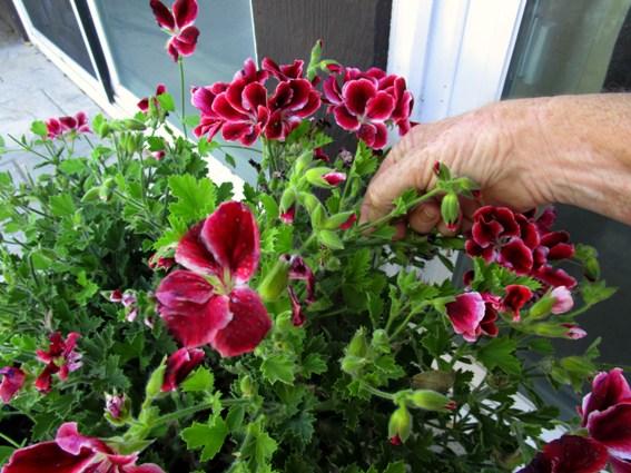 Pinching Martha Washington geranium blooms