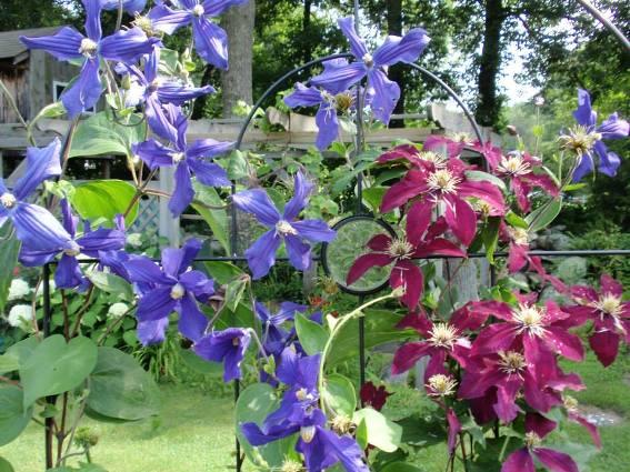 Cherrie Carine's Durandi (blue) & Ramona (burgundy)