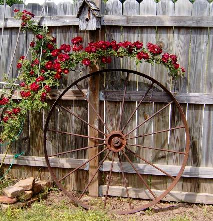 Betty Heffner's rose knows,...just how to arch over this wheel
