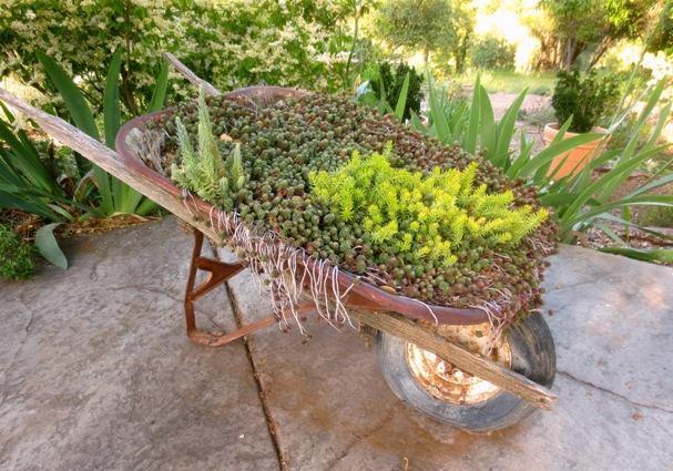 Elegant greens of the succilents fill my old wheelbarrow