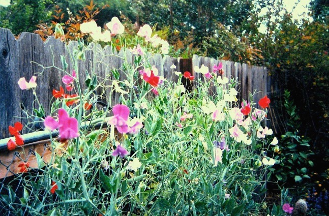 Sweet, sweet peas, the perfect cutting flower