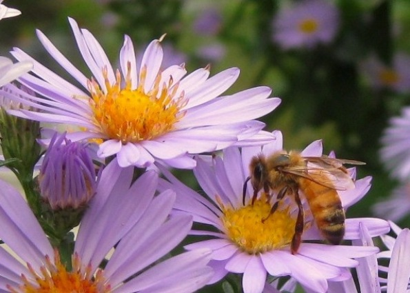 Honey bee on Asters in Sue Langley's garden