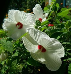 Hardy Hibiscus moscheutos 'Disco Belle White' from Dandi Gentry's garden