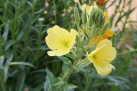 Hooker's Evening Primrose Oenothera elata hookeri