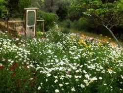 Ox-eye daisies light up my night garden