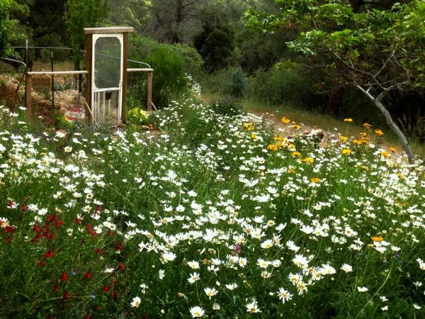 Ox-eye daisies light up my night garden