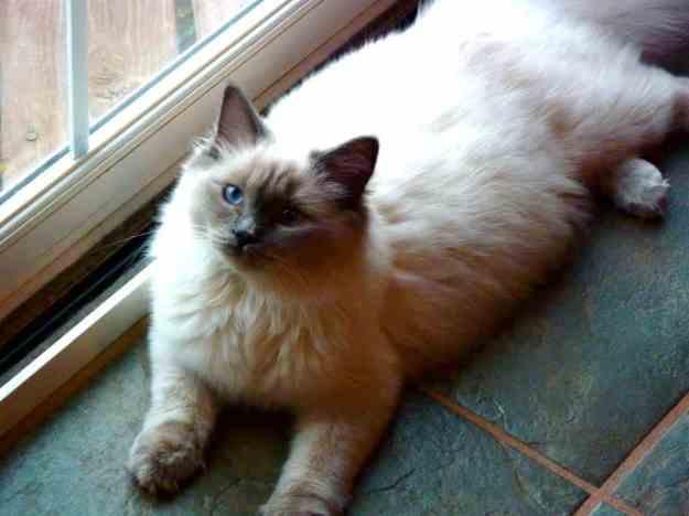 Crystal of Angelkissed Ragdolls, a Blue Point Ragdoll Cat