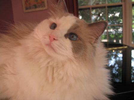 Miss Tessa, a 6 year old Blue Bi-color Ragdoll