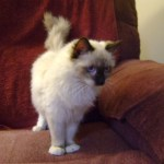 Ragdoll Rescue In Riverside CA