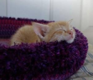 Foster Kitten In Bed