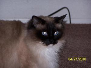 Gracie - Ragdoll Rescue in Athol Idaho