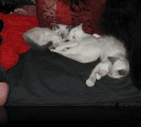 Artemis, Adam and Binkley as Kittens