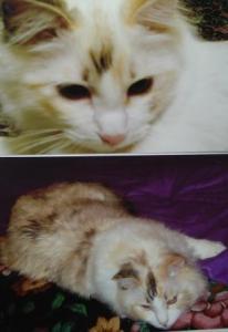 Snuggler Ragdoll Cat Color Change
