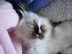 Hobbs as a Ragdoll Kitten