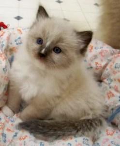 Charlie as a Ragdoll Kitten