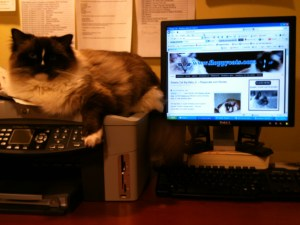 Charlie hanging out with me looking for blogs that feature Ragdoll cats