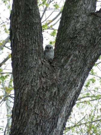 Barred Owlet back in the tree 4-19-11