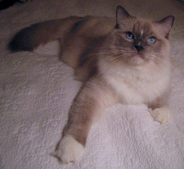 Chunky Monkey a blue mitted from East End Ragdolls owned by Jennifer Riddle