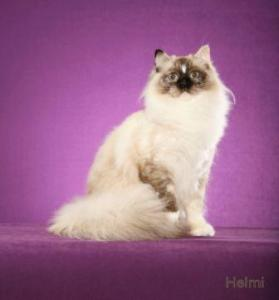 DGC Blossom Zinnia Kiss Love Song at 2 years old - Seal Point Tortie Mitted with Blaze Photo Credit: Hemi
