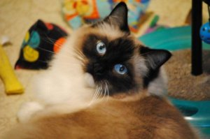 Clancy - Seal Point Mitted Ragdoll