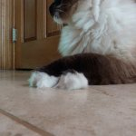 Does Your Cat Cross His or Her Paws?