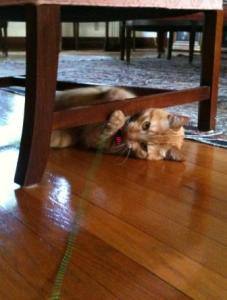 Oliver with the Neko Flies katarantula cat toy