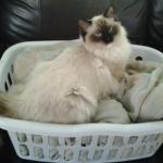 Mr. Darcy in the laundry basket owned by Mika