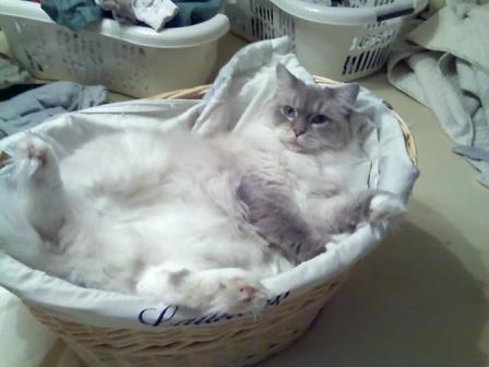 Thurston, a Blue Lynx Mitted Ragdoll Cat, owned by Stacie Eggert