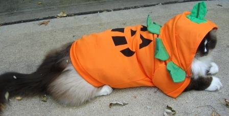Charlie in Kmart Cat Halloween Costume - Totally Ghoul Pumpkin Pet Costume