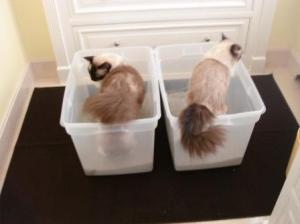 New Litter Box in the Bathroom with Caymus and Murphy